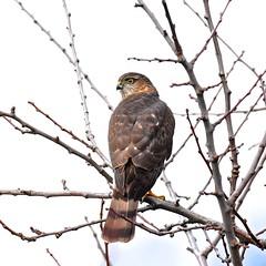 Cooper's Hawk (Aurora Santiago Photography) Tags: coopershawk backyardbird seattle ©aurorasantiago