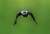 Clean & Green... (nitinchandra) Tags: animal bird crow deerpark feeding housecrow hunt mantis nature prey newdelhi delhi india
