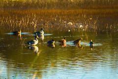 Ducks in the Afternoon Sun Digital Painting (randyherring) Tags: ca california centralcaliforniavalley cosumnesriverpreserve elkgrove afternoon aquaticbird nature outdoor recreational waterfowl wetlands