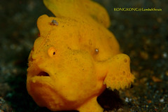 Oops ! (kayak_no1) Tags: nikon d800e nauticamhousing 105mmvr diopter ysd1 subsee10 underwater underwaterphotography macro supermacro diving scubadiving uw lembehstrait indonesia frogfish