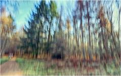 a forest (amazingstoker) Tags: basingstoke sherborne saint john hampshire nt national trust vyne path icm pine forest