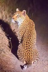 Leopard at night (patrickburtin) Tags: