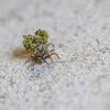 Lacewing larva (markhortonphotography) Tags: mausoleum larva surrey camouflage macro thatmacroguy markhortonphotography nature brookwoodcemetery graveyard predator wildlife insect lacewing cemetery invertebrate