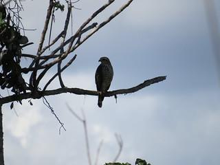 Gavião (Hawk), Falcão
