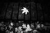 Fell 98.365 (ewitsoe) Tags: leaf single leaves fall autumn street brick fence fenced iron monochrome bnw blackandwhite ewitsoe canon eos6dii bricks urban polska europe found object detail 97 365