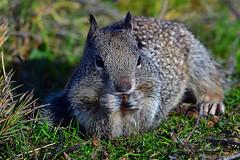 "Ground-Squirrel_04 (DonBantumPhotography.com) Tags: wildlife nature birds animals groundsquirrel ""donbantumphotographycom"" ""donbantumcom"" ""nikon d7200"" ""afs nikkor 200500mm f56e ed vr"""