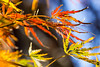 Japanese Maple (Scriblerus) Tags: japanesemaple leaves foliage viridis autumn macro