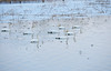 Landscape with Swans #6 (daniel0027) Tags: ripple swans river birds lotusstems cygnuscygnus tundraswan snowydays white reflection thinice snow whooperswan