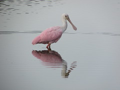 Roseate Spoonbill (c) 2017 Jayne Arden. All rights reserved.