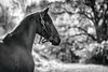 armando (Jen MacNeill) Tags: andalusian spanish pre horse blackandwhite bnw bw horses equine moody animal pet littledoglaughednoiret