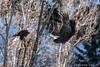 Dive (James Neeley) Tags: idaho baldeagle wildlife jamesneeley