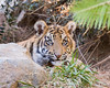 Rakan (ToddLahman) Tags: rakan sumatrantiger sandiegozoosafaripark safaripark tiger tigers tigertrail tigercub escondido eyelock exhibita beautiful mammal male portrait outdoors canon7dmkii canon canon100400 closeup