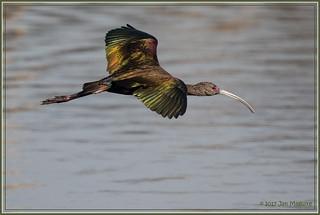 Ibis in Flight 9707
