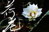 lkh09 (kin hoong2013) Tags: black 莲花 白莲花 白色 荷花 白荷花 lotus whitelotus photoshop lightroom 书法 calligraphy lake garden white whitecolour adobe cc2015 malaysia outdoor landscape flower 花