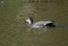 Male Gadwall (ambrknr) Tags: gadwall duck wildlife water fowl waterfowl eugene western oregon pacific northwest migratory bird delta ponds male