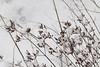 CKuchem-3326 (christine_kuchem) Tags: bauerngarten biogarten dost eis frost garten jahreszeit kräuter kälte majoran nahrung naturgarten pflanze samen samenstände sortenvielfalt vielfalt vogelfutterpflanze vögel wildpflanze winter winterfutter gefroren kalt naturnah natürlich reif schnee wichtig wild