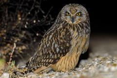 Coruja-do-nabal | Short-eared owl | Asio flammeus (Álvaro Nunes) Tags: corujadonabal shortearedowl asioflammeus