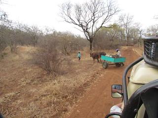 Zimbabwe Cape Buffalo Hunt 31