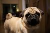 Yoshi (Candice Pun) Tags: dog pug