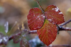 Petite devinette du 31 : Aussi blanc que la neige, mais ce n'est pas de la neige Aussi rouge que du sang, mais ce n'est pas du sang Aussi noire que l'encre, mais ce n'est pas de l'encre ... c'est la ronce Bonne Année 2018 (rocailles) Tags: icing givre winter hiver proxy leaf bramble color couleur feuille ronce