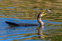 Food is Fun!! (Arizphotodude) Tags: cormorant arizona birding fish fishing riparianpreserve gilbertaz nature photography naturephotography outdoors wildlife nikon d500 sigma150500