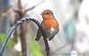 Twas the Night Before Christmas..... (law_keven) Tags: robin robinredbreast gardens garden gardenbird catford london england gardenbirds avian wildlife wildlifephotography photography sky bird