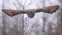 The Dive (jrlarson67) Tags: great gray grey owl raptor flight hunting attack swoop wingspan bif strix nebulosa chouette lapone cendrée minnesota
