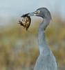 Little Blue Heron (Gary McHale) Tags: little blue heron crayfish feeding upper myakka lake river state park florida ngc npc