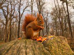 Naturschönheit (lebastian) Tags: panasonic dmcgx8 dresden park eichhörnchen 52wiesnerwochen squirrel animals animal olympus m1240mm f28 tierliebe natur