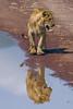 Double (Don César) Tags: africa tanzania tansania leon lion two dos reflejo reflection nationalpark kitten cachorro line ngorongoro crater fauna