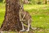 Kangaroo on the Golf Course (Merrillie) Tags: catalinagolfcourse nsw eurobadallashire kangaroo catalina furry nature water wildlife australia animals fauna southcoast newsouthwales marsupial