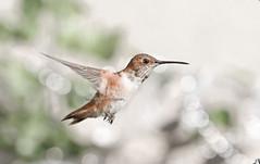 In flight (theresazphotography) Tags: hummingbird annas hummingbirdphotography birdphotography birdwatching garden birds losangeles socal californiabirds california