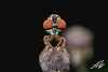 Robber Fly (STFabian) Tags: insect macro robber fly robberfly diptera
