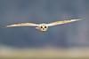 © Brian E Kushner Nikon D5 Nikon AF-S 800mm f/5.6 VR (Brian E Kushner) Tags: shortearedowl shorteared owl short ear asioflammeus goshen new york birding bird nikon d5 nikond5 nature bkushner wildlife animals ©brianekushner nikonafsnikkor800mmf56efledvrlens afs nikkor 800mm f56e fl ed vr lens tc800125e tc800125eed flight flying