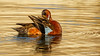 Cinnamon Teal (Bob Gunderson) Tags: anascyanoprtera birds california cinnamonteal dabblingducks ducks northerncalifornia sanfrancisco sutrobaths teal