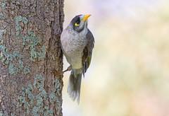 Noisy Miner (christinaportphotography) Tags: noisyminer manorinamelanocephala miner berkeleyvale centralcoast nsw australia bird birds wild free focus bokeh noisy dof