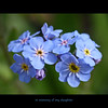 In memory of my daughter (annkelliott) Tags: alberta canada nature flora plant flower flowers forgetmenots blue delicate small macro closeup tribute daughter inmemoryofmydaughter 3rdanniversary sadness bokeh outdoor plateaumt fz35 panasonic lumix annkelliott anneelliott ©anneelliott2010 ©allrightsreserved
