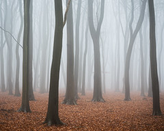 Chosen Time (Damian_Ward) Tags: ©damianward damianward beech trees chilterns chilternhills thechilterns fog mist buckinghamshire wood forest woodland