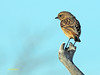 Saxicola rubicola (Tarabilla europea) (27) (eb3alfmiguel) Tags: pájaro aves passeriformes insectívoros turdidos turdidae tarabilla europea saxicola rubicola