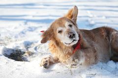 1/52 George loves to rub his face in the snow  [Explore] (J Helsel) Tags: 52weeksfordogs