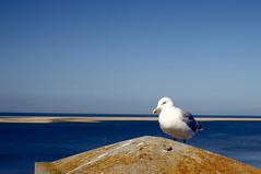 Seagull (Jos Mecklenfeld) Tags: seagull meeuw möwe borkum niedersachsen germany deutschland duitsland northsea nordsee noordzee sea meer zee beach strand sonylaea2 sonynex3n minoltaaf28mmf28 bird vogel de