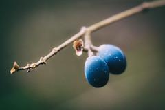 Blue Berries (seikoesquepayne) Tags: olympus penf macro f28 blueberries 60mm