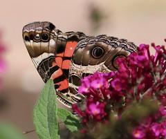 buttterfly - vanessa virginienis (galsafrafoto) Tags: vanessa paintedlady buttrefly insect butterflybush buddleja nature macro