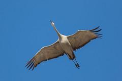 Cranebelly (Dahai Z) Tags: crane birdsinflight belly jasperpulaskifishandwildlifearea sky fly winter 2017 bluesky wings beak sandhillcranes feathers canon400mmf56lusm canon7dmarkii