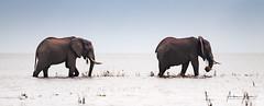 This Way 5 (Alec Lux) Tags: africa kariba zimbabwe adventure elephant elephants herd lake lakekariba landscape landscapephotography mammals nature naturephotography ripples travel traveling water waves wildlife wildlifephotography mashonalandwestprovince zw