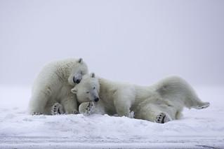 Polar Bear Friends