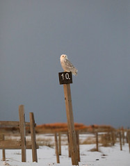 Perfect 10 (Marietta Dooley) Tags: snowyowl owl birdofprey birdsofprey canon newjersey birds wildlife shore coast beach dunes snow winter sunset grass