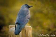 Expectante (Dani (Atrus)) Tags: grajilla grajillaoccidental corvusmonedula jdanielfernández elrincóndelosprotegidos españa aves birds fauna naturaleza nikon jackdaw