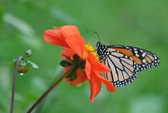Papillon monarque (Danaus plexippus). (Claudia Sc.) Tags: nouvellezélande newzealand papillon butterfly monarque îledunord northisland animal danausplexippus faune insecte