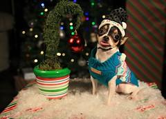 Bah Humbug (Cindy's Here) Tags: bahhumbug peanut chihuahua grinchmastree christmas holidays canon bokeh ansh challenge invention
